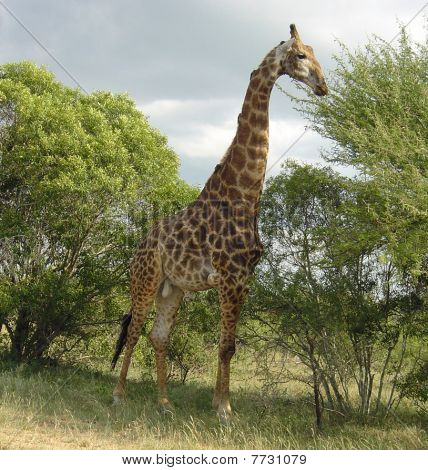 Wildlife Giraffe