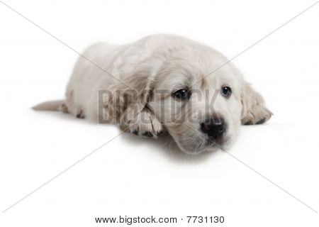Dog - Golden Retriever Puppy