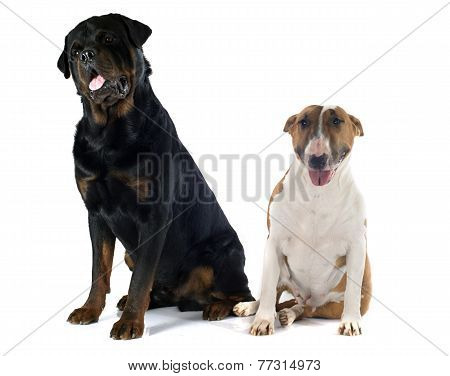 Bull Terrier And Rottweiler