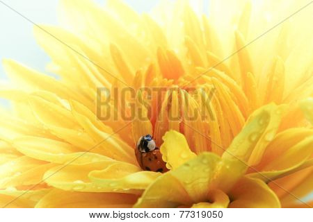 A single ladybug explores a yellow daisy.
