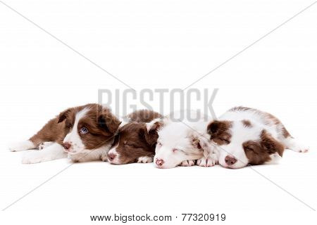 Four Sleeping Border Collie Puppies In A Row