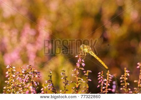 Dragonfly In Sunset Light Over Line Of Heather