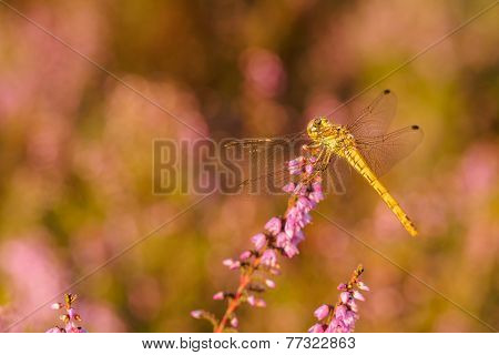 Dragonfly Closeup In Sunset Light