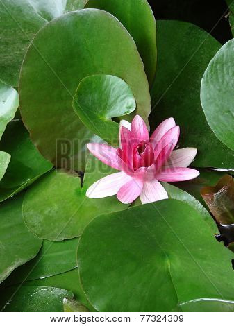 Flowers a water lily