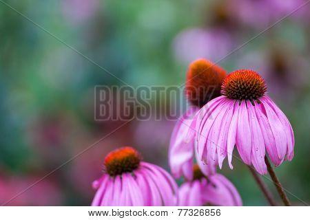 Purple Coneflowers (Echinacea) , close-up, selective focus