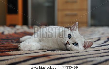 White Kitten Lying On A Blanket