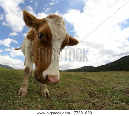 Mountain Cow Photographed With Fish Eye Lens