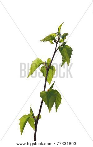 Birch Tree Branch With Green Leaves