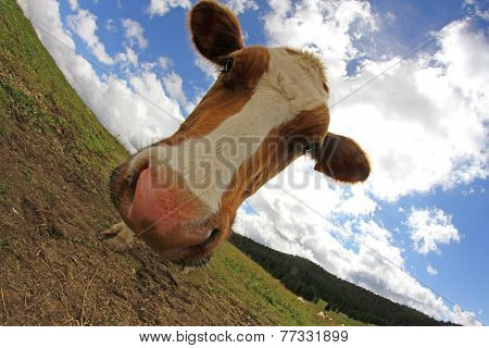 Cow Photographed With Fisheye Lens And Blue Sky With Many Clouds