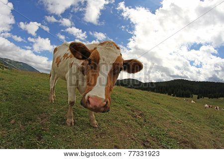 Cow Photographed By Fish Eye Lens And Blue Sky With Many White Clouds