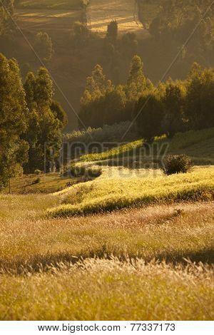 rich farmland and wheat in Ethiopia