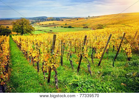 Landscape With Autumn Vineyards. France, Alsace