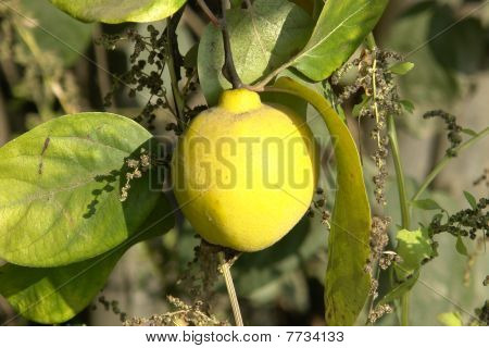 Beautiful yellow Quince.