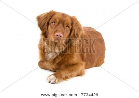 Nova Scotia Duck-Tolling Retriever dog