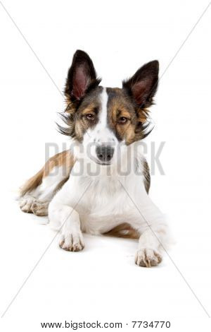 mixed breed dog, half border collie