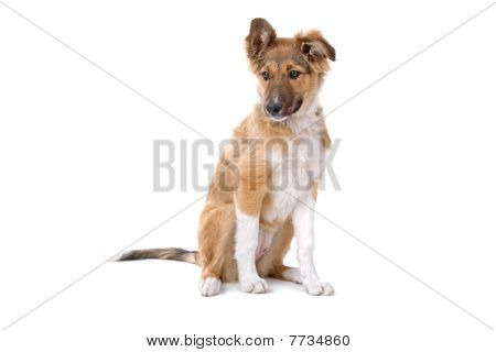 mixed breed puppy