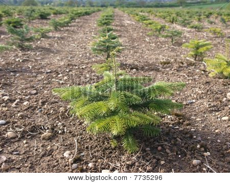 Nordman Fir in Christmas Tree Nursery