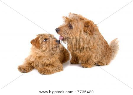 two norfolk terrier dogs