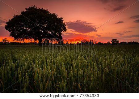 Bulkington Corn Fields