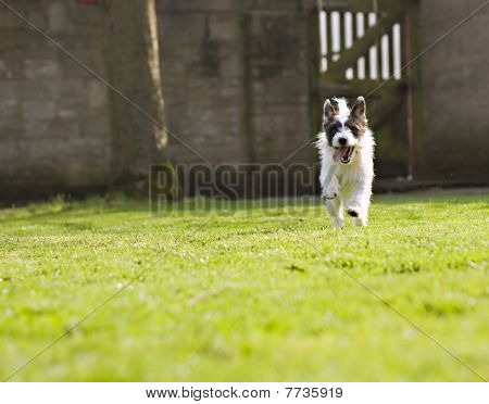 An Energetic Jack Russell Running Towards The Camera