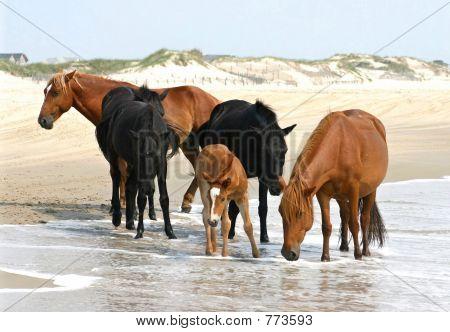 Wild Horses of Corolla Beach