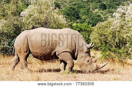 White Rhinoceros or Square-lipped rhinoceros (Ceratotherium simum) near the Masai Mara National Reserve southwestern Kenya.