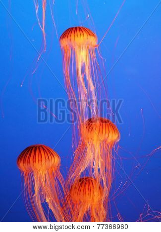 Four small picturesque orange-red jellyfish in the aquarium. Dark-blue water beautifully lit