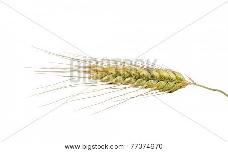 single ear of wheat isolated on white background