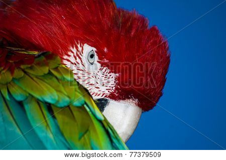 Colorful Ara parrot