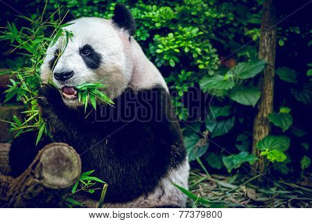Giant panda looking at camera