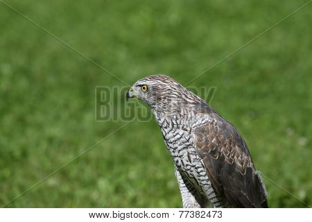 Isolated Peregrine Falcon On The Lawn In The Mountains