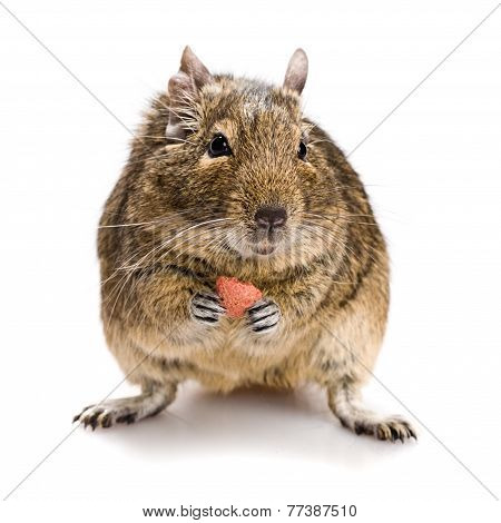 Small Rodent With Food In Paws