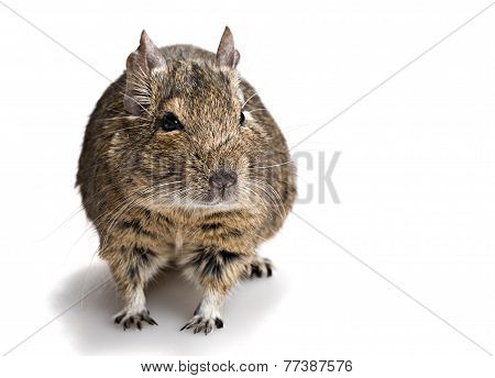 Cute Small Rodent
