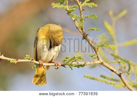 Black Masked Weaver - Wild Bird Background - Tranquility, Peace and Freedom