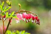 stock photo of broken heart flower  - red flower in the spring of a broken heart - JPG