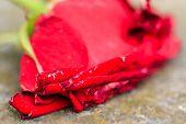 stock photo of broken heart flower  - Macro close - JPG