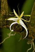 picture of epiphyte  - The elusive Ghost Orchid is becoming extinct and is found in the tropics - JPG