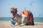pic of dromedaries  - Dromedary camel on egyptian beach in summer with kite surfers in background - JPG
