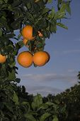 image of valencia-orange  - Fields of agriculture in the Mediterranean region of maestazgo in the Valencian community - JPG