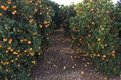pic of valencia-orange  - Fields of agriculture in the Mediterranean region of maestazgo in the Valencian community - JPG