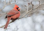 pic of cardinal-bird  - A Male Cardinal perched on a tree branch - JPG