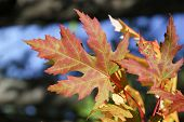 stock photo of canada maple leaf  - Maple leaves in autumn in a forest in Ontario  - JPG