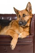 foto of shepherd dog  - german shepherd dog resting up on a couch - JPG