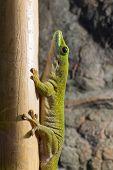pic of giant lizard  - Koch - JPG