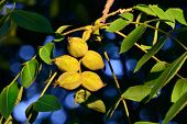 picture of walnut-tree  - Fruits of a walnut tree close up - JPG