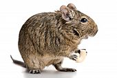 foto of gopher  - small rodent stands profile with food in paws full - JPG