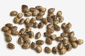 pic of laxatives  - Castor oil seeds - JPG