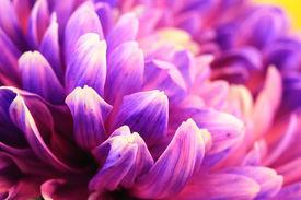 foto of creatures  - Chrysanthemum flower - JPG