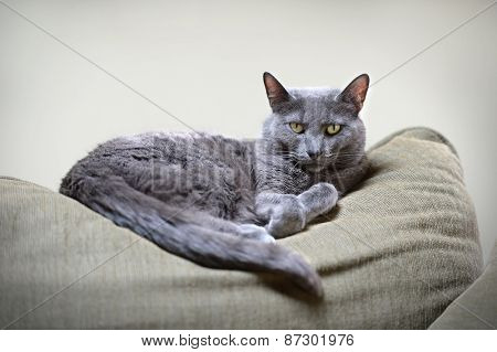 Portrait of Korat cat resting on furniture
