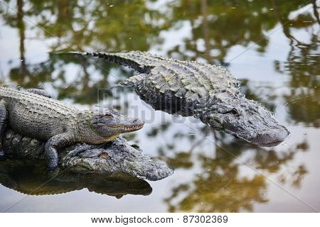 Alligator family with mother carrying her child and father alligator